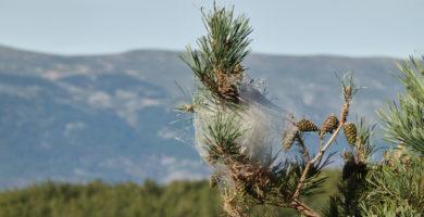 alergia à processionária do pinheiro